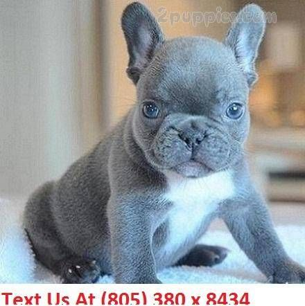 French Bulldog Puppy For Sale In Los Angeles Ca Adn 22887 On