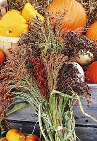Broom corn makes a wonderful decoration for the fall