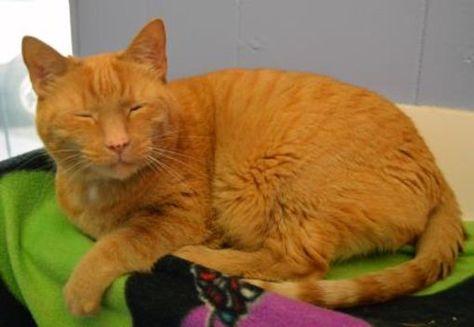 Fort Wayne In Domestic Shorthair Meet Calamari A Cat For Adoption Cat Adoption Cats Pets