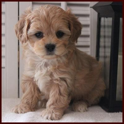 Shichon Poo Apricot Female Puppies Poochon Puppies Shichon Puppies