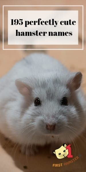 195 Perfectly Cute Hamster Names Male And Female In 2020