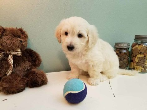 List of Pinterest golden retrievers for sale goldendoodle