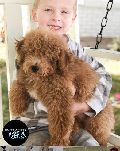 See Our Currently Available Goldendoodle Puppies And Confirmed
