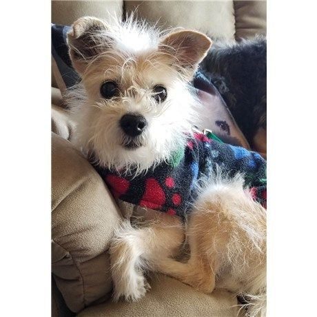 Adopt Sunflower In Co On Cairn Terrier Mix Puppy Pictures Pets