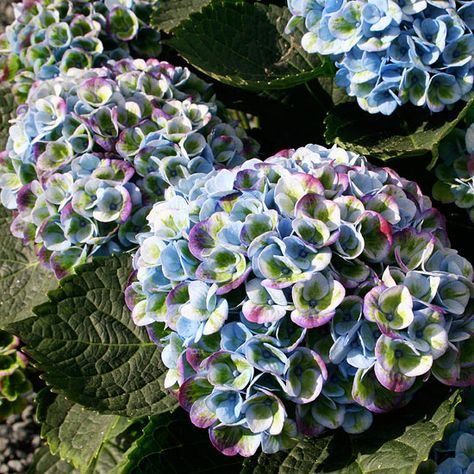 Everlasting Revolution Hydrangea produces vibrant multi-color blooms