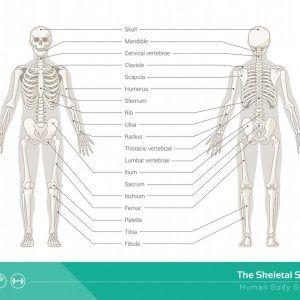 Synovial Joint Synovial Joint Skeletal System Joint