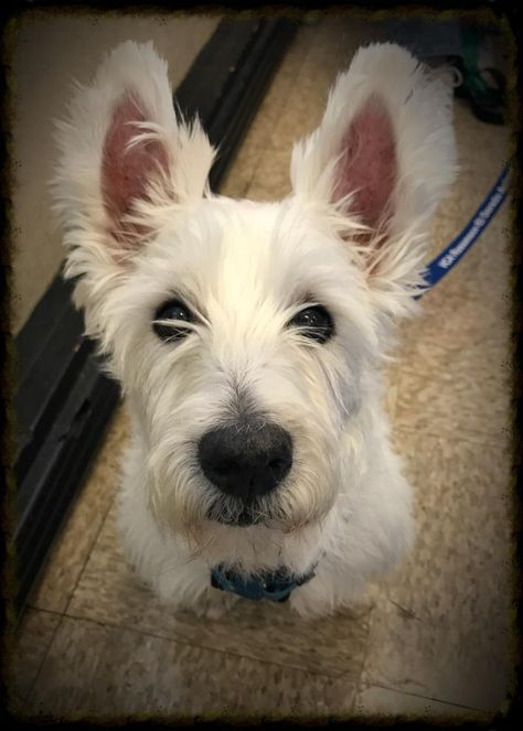 Adopt Gambit On West Highland White Terrier Westies White Terrier