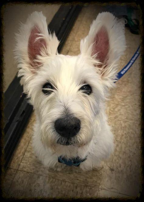 Adopt Gambit On West Highland White Terrier Westies White Terrier