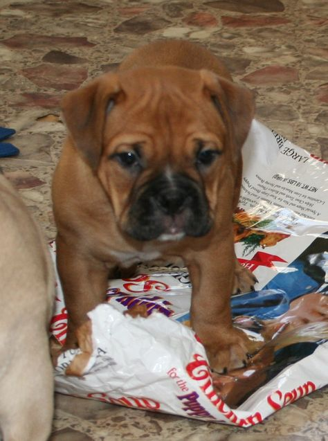 This is what Gage our Victorian Bulldog looks like... We're a house of Bulldogs; all kinds :)
