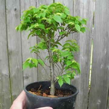 Jacqueline Hillier Elm Ulmus Minor Jacqueline Hillier Miniature Trees Mini Garden Miniature Garden