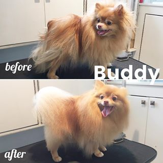 What A Happy Happy Pomeranian Buddy Was In For His Spa Day And He Got Fluffed And Buffed Out Petgrooming Gingerpom Cuteipie Perros