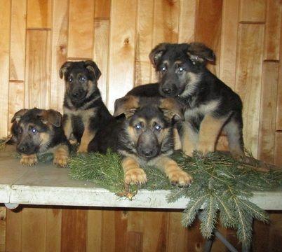 Litter Of 8 German Shepherd Dog Puppies For Sale In Curtiss Wi Usa Adn 105455 On Puppyfinder Com Gender Male S Shepherd Dog German Shepherd Dogs Puppies For Sale