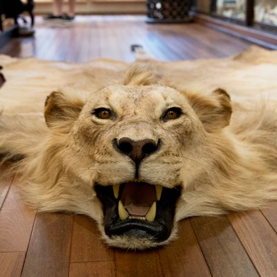 African Lion Skin Rug   This Vintage Mount Is A Huge Male With A Beautiful  Mane. This Is An Exceptional Specimen, And Great Attention Has Been Paidu2026