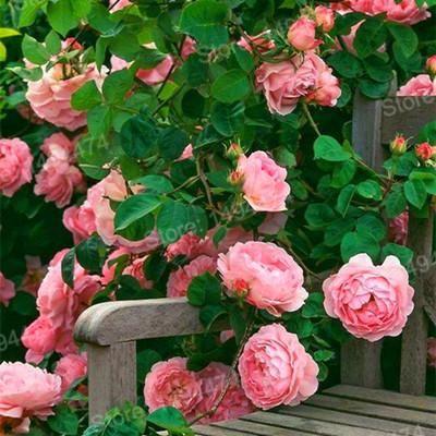 100pcs/bag mix color Climbing Flower Climbing Rose Plants Polyantha rose Plantas,beautiful bonsai Plant for home garden