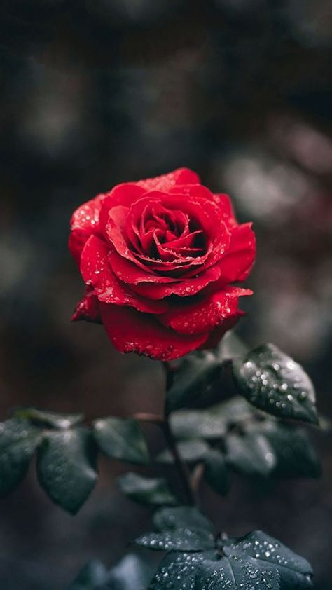 #red #rose #flowers #dewdrops