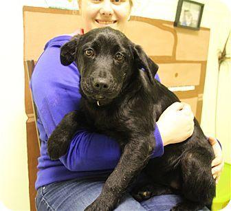 Elyria Oh Cardigan Welsh Corgi Labrador Retriever Mix Meet Raphaella A Puppy For Adoption Cardigan Welsh Corgi Puppy Adoption Welsh Corgi Mix