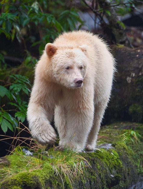 Spirit Bear Walking Down A Mossy Log by Paul Burwell - Spirit Bear ...