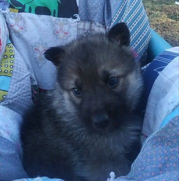 Litter Of 8 Gerberian Shepsky Mix Puppies For Sale In Harrison Ar