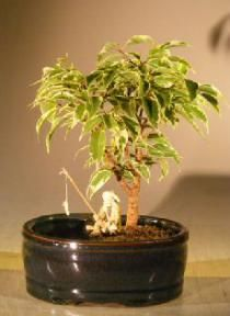 Ficus Bonsai Tree Variegated Waterland Container Small