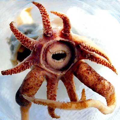 He's funny. This guy is called Promachoteuthis. Only one has ever been caught in the wild. It looks like a character out of Spongebob, and it looks like it's about to have an intelligent conversation with me.