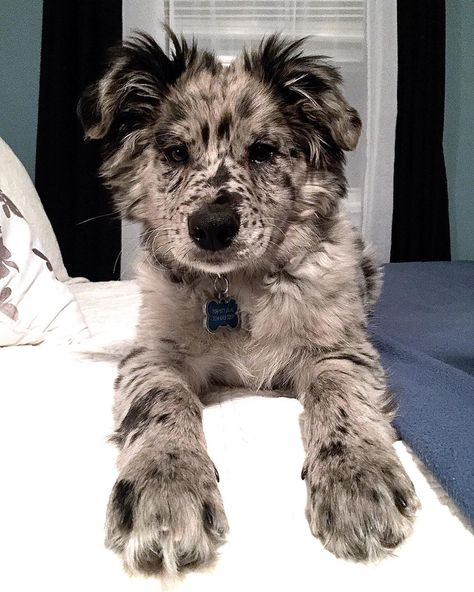 beautiful dogs Name Birch named after his fur ;) I - dog Cute Dogs And Puppies, I Love Dogs, Doggies, Aussie Puppies, Fluffy Puppies, Cute Dogs Breeds, Teacup Puppies, Corgi Puppies, Baby Dogs