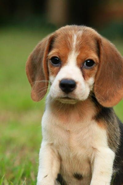 How To Train Your Beagle Dog To Be Off Leash Beagle Dog Beagle