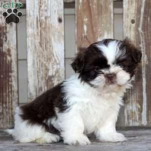 Shih Tzu Puppy In Lykens Pa Shih Tzu Puppy Shih Tzu Shih Tzu Dog