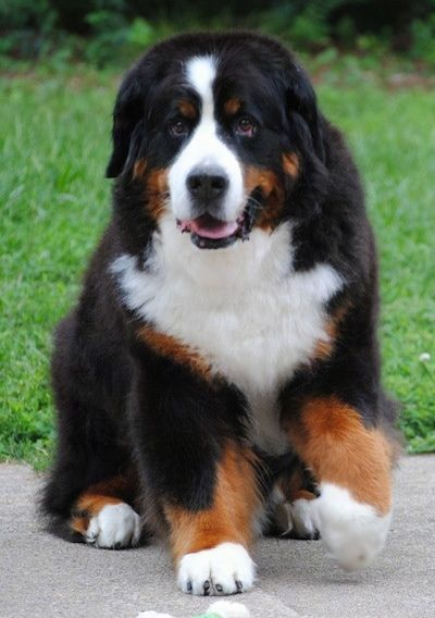 Dog Breed Info Center Mountain Dog Breeds Mountain Dogs