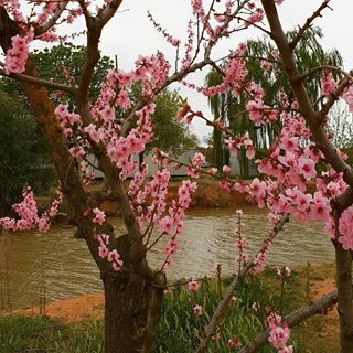 Preparing For The Stone Fruit Season Flowers On The Trees Are Absolutely Stunning Stonefruit Victoria Australia Produce Stone Fruit Flowers Seasons