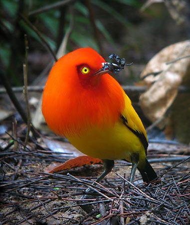 Animal Witness / Flame Bowerbird (Sericulus ardens) - Tropical Birding, Papua New Guinea 2007 trip report Pretty Birds, Beautiful Birds, Animals Beautiful, Cute Animals, Kinds Of Birds, All Birds, Love Birds, Tropical Birds, Exotic Birds