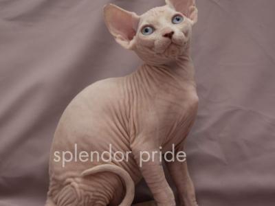 Dakota Splendor Pride Female Sphynx Kitten For Sale In Kyiv City Ukraine Profile Id 18535 Cat Breeder Sphynx Kittens For Sale Pet Vet