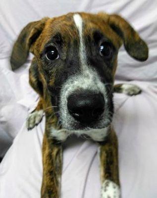 Fort Wayne In Mixed Breed Medium Meet Klair A Dog For Adoption Dog Adoption Dogs Mixed Breed