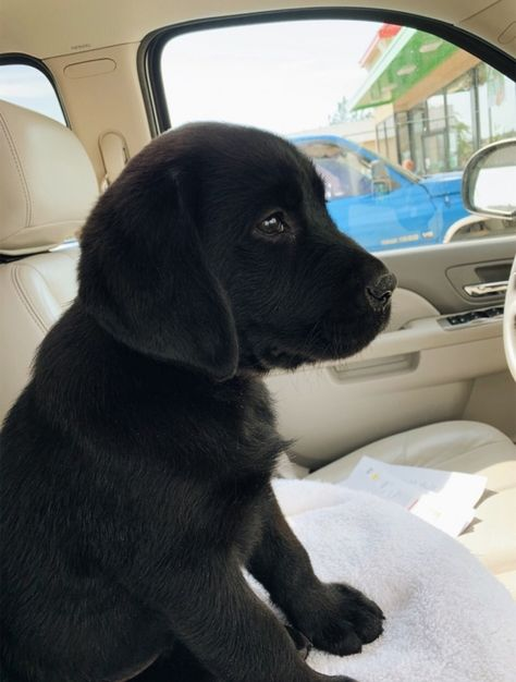 "Outstanding ""black lab puppies"" information is offered on our web pages. Check it out and you wont be sorry you did. Black Lab Puppies, Cute Dogs And Puppies, Baby Puppies, Pet Dogs, Doggies, Corgi Puppies, Weiner Dogs, Cute Little Animals, Cute Funny Animals"
