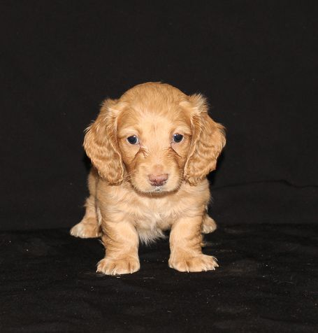 Duke Male Australian Shepherd Puppy For Sale In Grabill Indiana