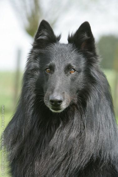 Perfect Conformation Purebred Dogs Large Dog Breeds Dogs