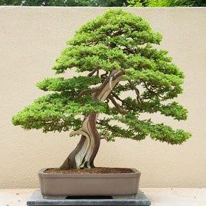 Club Escuela De Bonsai Online Bonsaialambre árboles Bonsai Bonsai Bonsais