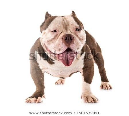 Stock Photo American Bully In Front Of White Background Pet Dogs Buy Pets American Bully