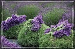 Kuvahaun tulos haulle laventeli