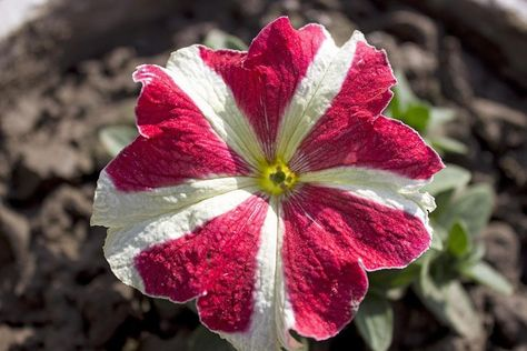 Beredpp U Beredpp Reddit Petunia Flower Petunias Flowers