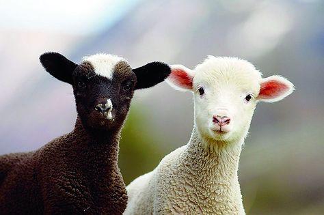 Alleen van witte lammeren of ook van de zwarte wol laten scheren?