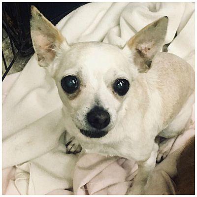Tavares Fl Chihuahua Meet Muni A Pet For Adoption Chihuahua