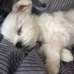 Maltese and Children: Is It a Good Combination - Champion Dogs Cute Puppies, Cute Dogs, Dogs And Puppies, Doggies, Poodle, Baby Animals, Cute Animals, Maltese Dogs, Teacup Maltese