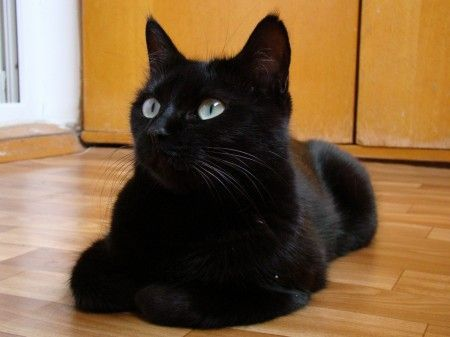 Pin By Lyndsey French On Blackcats In 2020 Cute Black Cats Black Cat Day Friendly Dog Breeds