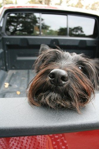 Photos   Scottish Terrier and Dog News   Page 32 More