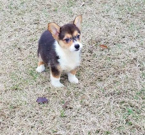 Pembroke Welsh Corgi Puppy For Sale In San Francisco Ca Adn
