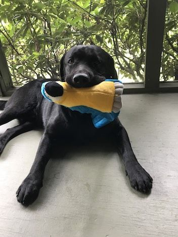 Labrador Needs Surgery After Eating Toys Healthy Paws Pet Insurance Dog Allergies Puppy Care Pets