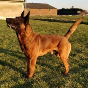 C4 Malinois Protection Dog Texas Dogs Belgian Malinois Dog
