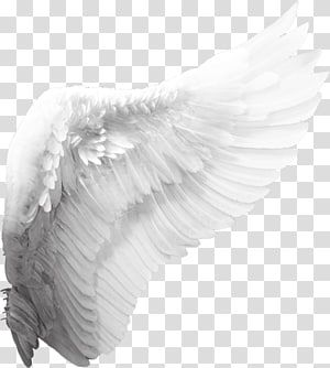 Cherub Angel Wing Angel Wings White Wing Transparent Background Png Clipart Angel Wings Png Wings Png Angel Wings Painting