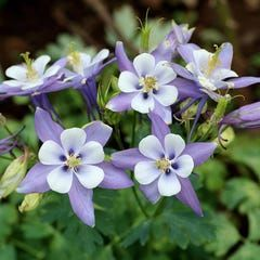 Pin On Columbine Flowers Aquilageas