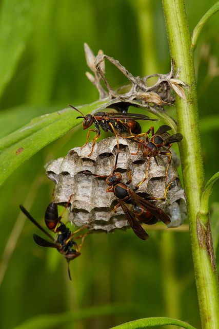 paper wasp sting